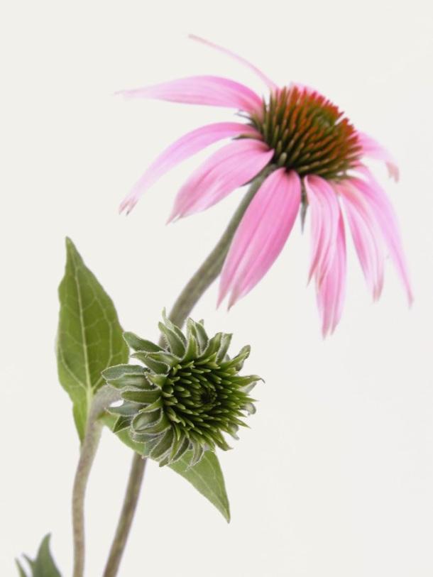 86337-echinacea_flower