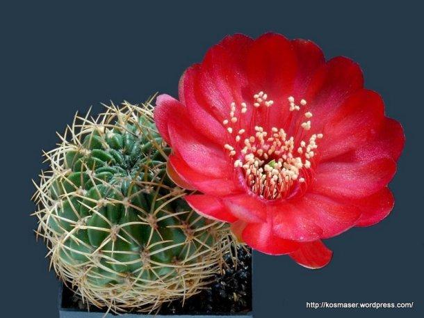 Cactus_Blooms-2_027