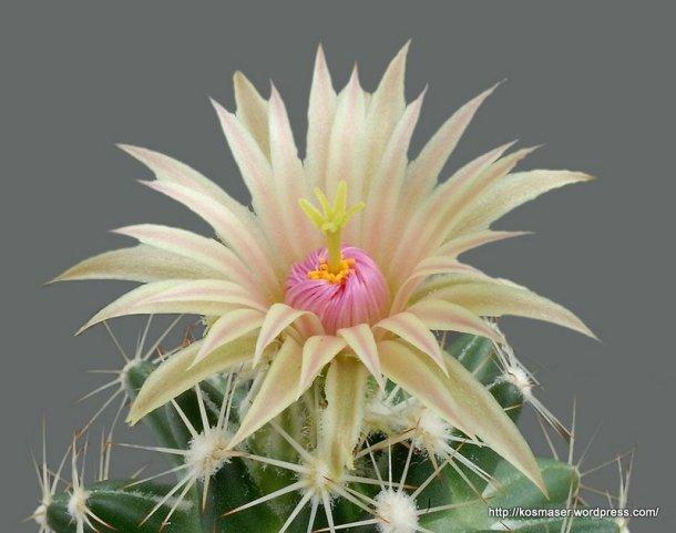 cactus_blooms-2_016
